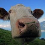 ubezpieczenie rolne bydlo 150x150 - Płatność kartą za ubezpieczenie